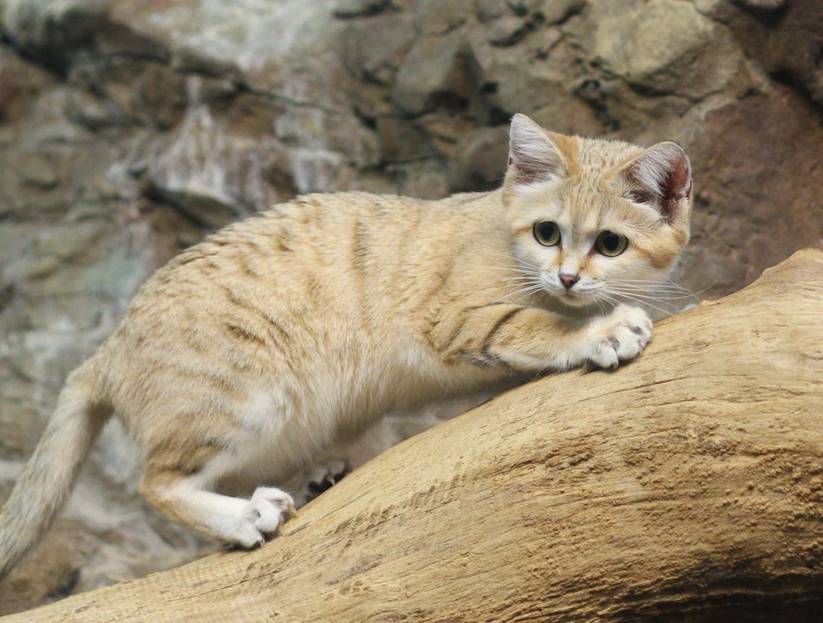 барханный кот купить киев Гидромаркет предлагает